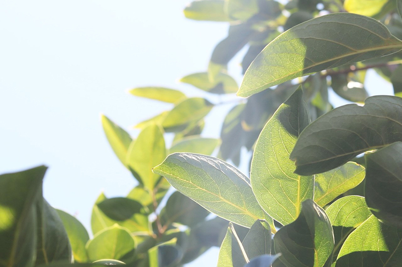 写真:柿の木の葉に太陽の光が注いでいる様子