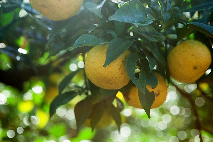 写真:柚子がたくさん実った木